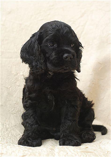 black cocker spaniel puppies photo