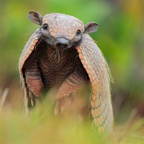 13 things you didn t know about armadillos mnn mother