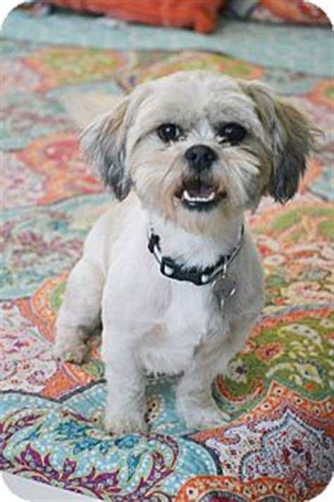 shih tzu in nj bedminster nj shih tzu mix meet jeb a for adoption