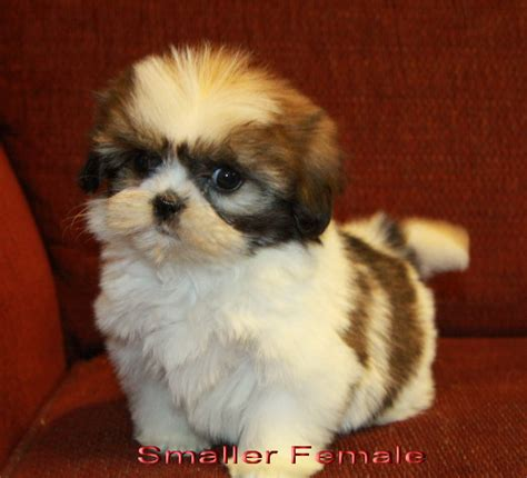 pomeranian shih tzu puppies for sale tiger shih tzu puppy puppies for sale dogs for sale in ontario canada curious