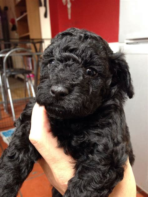 miniature poodle x shih tzu shih tzu puppies and dogs pet adoption search dogs or rachael edwards