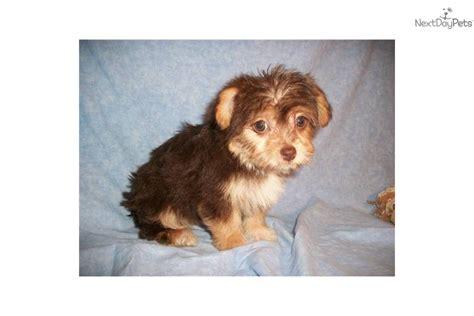 chocolate yorkie poo for sale yorkiepoo yorkie poo puppy for sale near zanesville cambridge ohio 21ce3313 b2d1