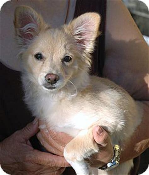 how big will a pomeranian chihuahua mix get ariel adopted puppy arcadia ca pomeranian chihuahua mix