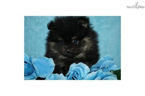 black and white teacup pomeranian for sale meet gorgeous a pomeranian puppy for sale for 550 black and teacup