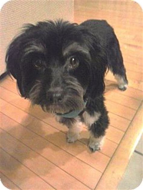 havanese yorkie mix gig harbor wa havanese yorkie terrier mix meet a for adoption