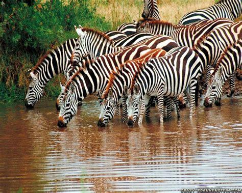 Paking Tutup Klep Zebra 1 0 zebra wallpaper pack 3 wallpaper