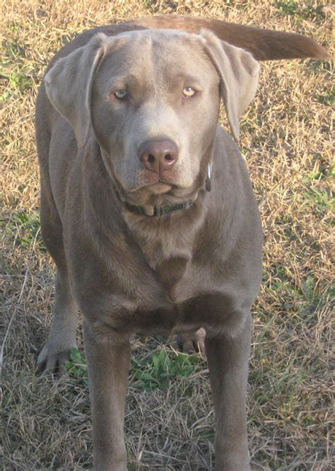 silver lab puppies black bred labrador retriever dogs puppies gumtree breeds picture