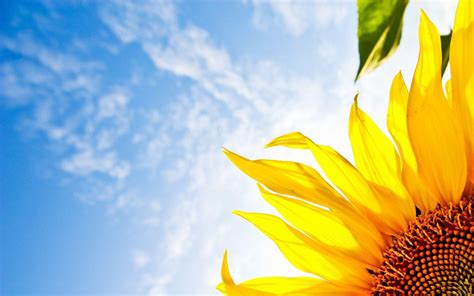 Search Backgrounds For Free Sunflower Desktop Wallpapers Free Wallpaper Cave