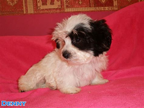 bichon havanese puppy bichon havanese puppy boy for sale ely cambridgeshire pets4homes