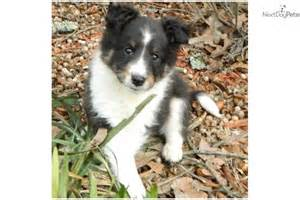 tri color sheltie shetland sheepdog puppy tri colour shetland sheepdog