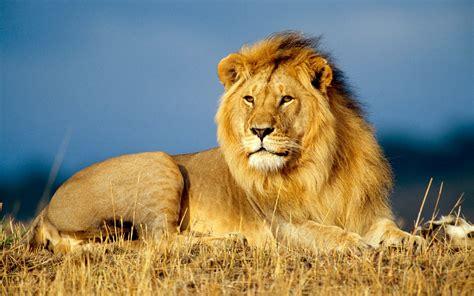 african lion  hd animals