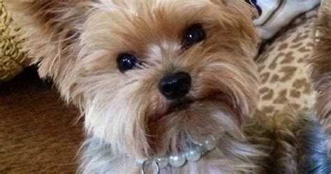 top 35 latest yorkie haircuts pictures yorkshire terrier top 35 latest yorkie haircuts pictures pets pinterest