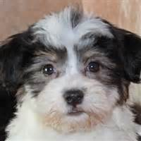 havanese puppies for sale south florida havanese puppies for sale in boca raton south florida