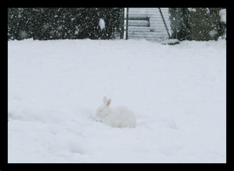 white rabbit white snow    day  christmas