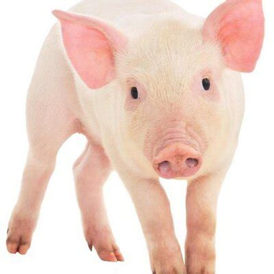 new year facts about the pig pig facts factsaboutpigs
