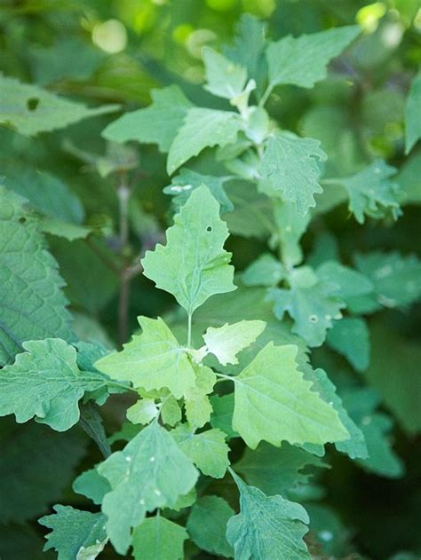weeds in the backyard 4 feet tall weed mulches and leaves on pinterest