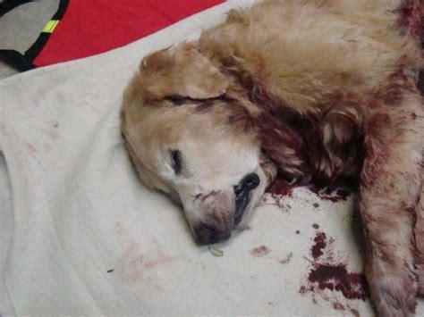 10 year golden retriever kill 12 year golden retriever st pete fl patch