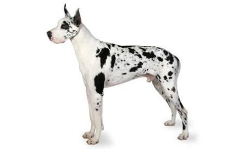 great dane crate great dane facts and crate size