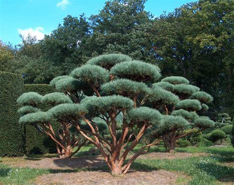 kleine bäume vorgarten 370 die besten 25 zierb 228 ume ideen auf amelanchier