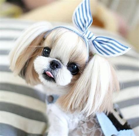 best shoo for shih tzu puppy 89 best shih tzu hair styles images on shih tzus fluffy pets and haircuts