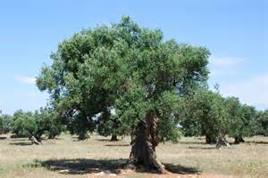 Olive Tree by File Centenarian Olive Tree 1 4752183682 Jpg