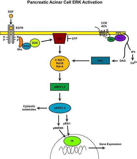 ERK Signaling   Pancreapedia