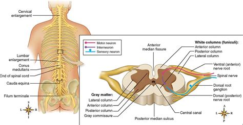 transverse section of spinal cord showing meninges central nervous system basicmedical key