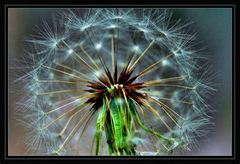 soffioni fiori soffione foto immagini piante fiori e funghi