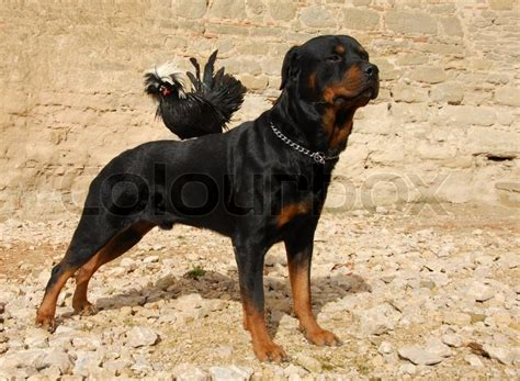 purebred rottweilers purebred rottweiler and miniature rooster perching on his back stock photo colourbox