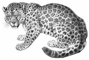 Jaguar Cat Cats Clip
