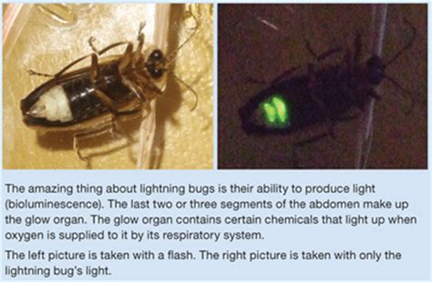 What Makes A Lightning Bug Light Up by Lightning Bugs The Beetle Beacons Answers In Genesis
