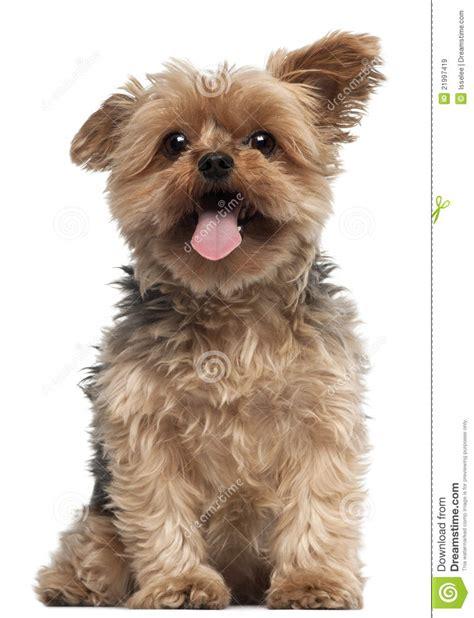 half yorkie half chihuahua puppies half yorkie half terrier breeds picture
