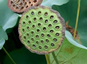 Lotus Seed Skin Lotus Care Growing The Sacred Lotus In Your Pond