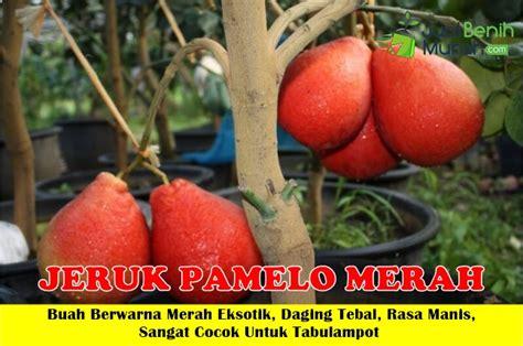 Bibit Jeruk Pamelo Thailand bibit jeruk pamelo merah 50cm jualbenihmurah
