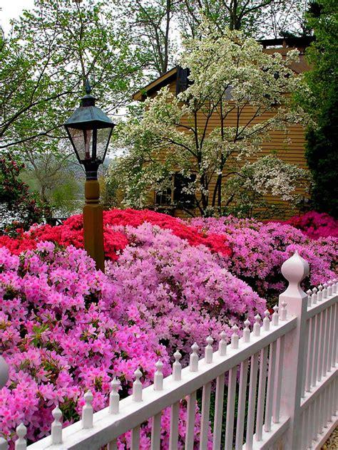 all year flowering shrubs types of bushes flowering hgtv