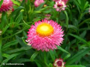 straw flowers strawflower picture 4
