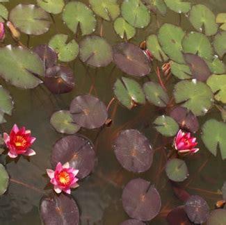 Pupuk Untuk Bunga Teratai tanaman teratai rubra merah jual tanaman hias