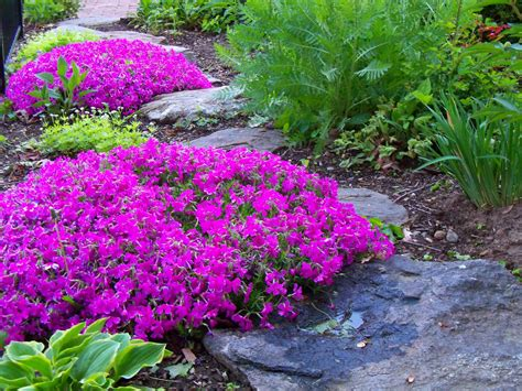 creeping phlox ground cover momma used to grow this to