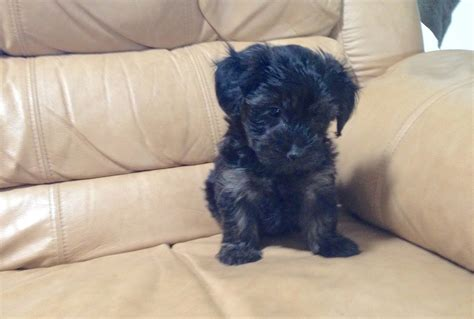 yorkie for sale florida yorkie poo for sale florida heidi