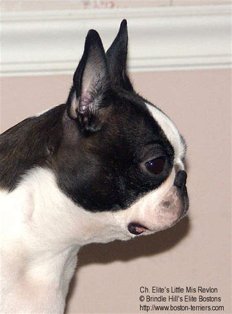 brindle boston terrier puppies brindle hill boston terriers breeds picture