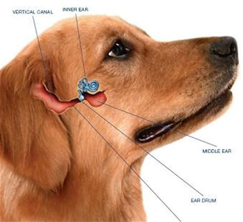 water in dogs ears ear infections causes cimarron animal hospital