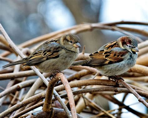 image gallery housesparrows