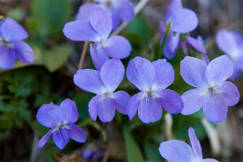 new jersey state flower wood violet home pinterest a to z the usa wisconsin state flower