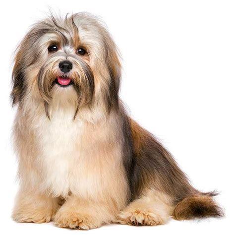 Havanese   Havanese Pet Insurance & Dog Breed Info