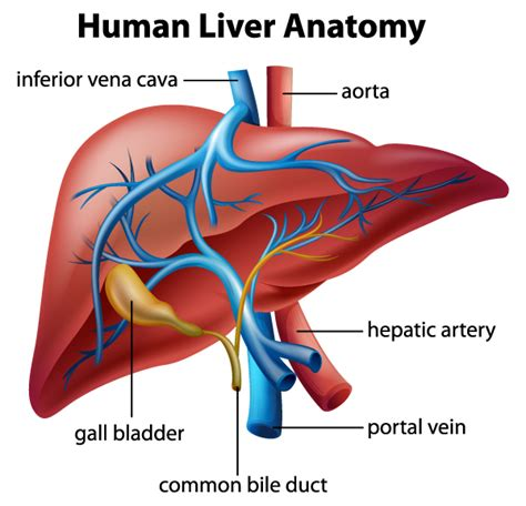 what are the divisions of the surgery section based on liver transplantation surgery university of colorado
