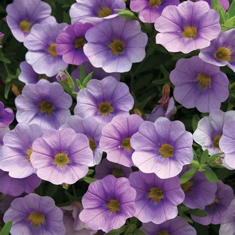 superbells 174 lovely lavender calibrachoa hybrid proven winners