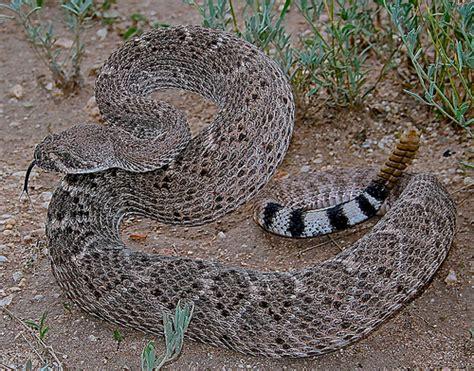 Garden Snake Arizona Flickr The Snakes Of Arizona Pool