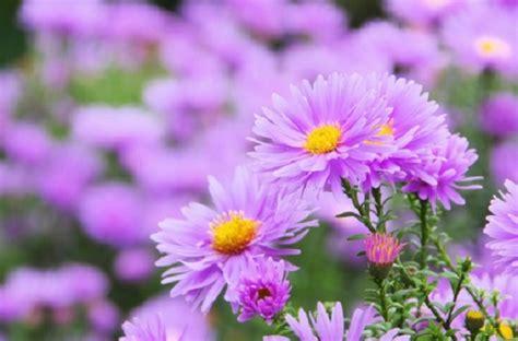 aster fiori significato dei fiori gli aster pollicegreen