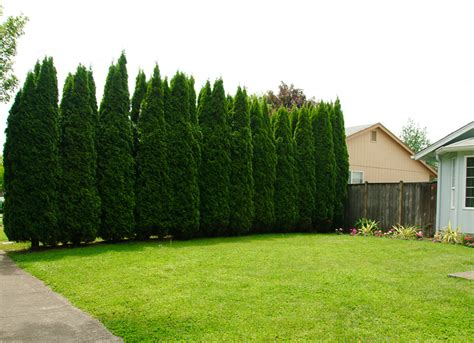 plant  privacy tree fence