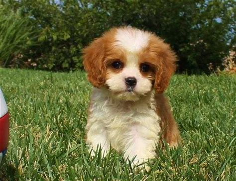 cavapoo puppies for adoption mixed breeds page 75 for sale ads free classifieds